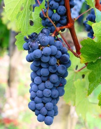 Carmenere-Wine-Grapes1